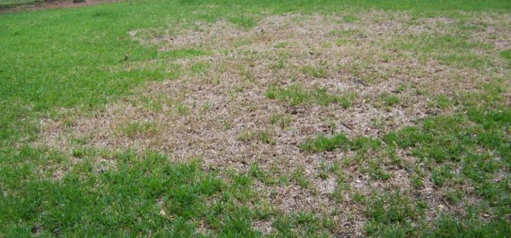 Common Lawn Problems for St. Augustine Grass